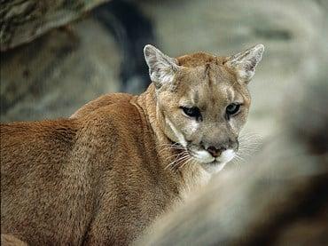 Vehicle strikes, kills mountain lion near Alliance