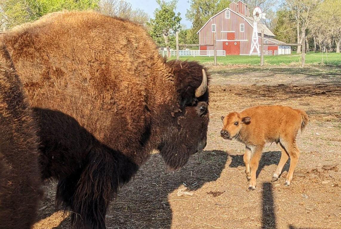 Nebraska Game and Parks seeking help naming new bison calf