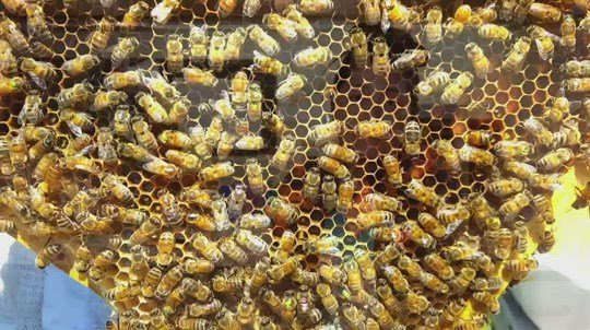 UNL preserving, studying bees