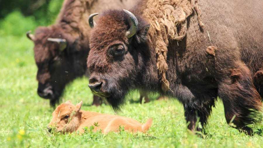 Bison calf born last month now roaming Nebraska safari park