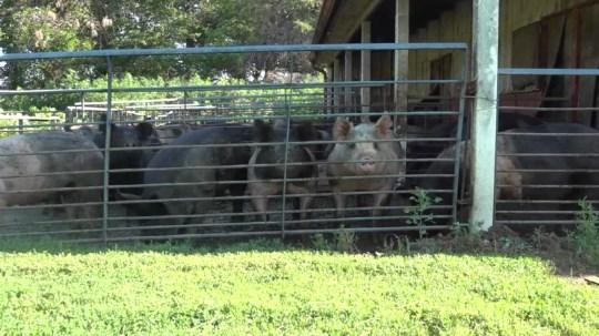 Nebraska farmers work to keep livestock healthy during hot weather