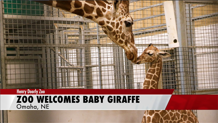Baby giraffe welcomed to Henry Doorly Zoo
