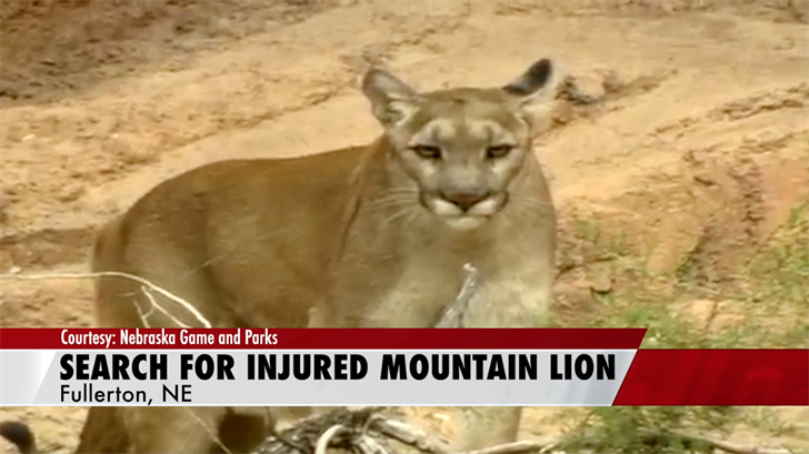 Authorities search for injured mountain lion